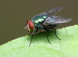 mosca cojonera